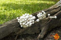 De paddestoelgroep groeit in bossen Royalty-vrije Stock Foto's