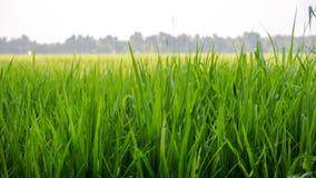 De Padie van de rijstinstallatie van Kuttanadu Alappuzha royalty-vrije stock afbeelding