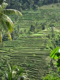 De padievelden van Bali Stock Afbeeldingen