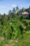 de padievelden van Bali Royalty-vrije Stock Foto's