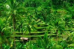 De padievelden van het terras op Bali, Indonesië Stock Afbeelding