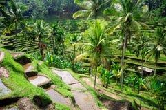 De padievelden van het terras op Bali, Indonesië Stock Afbeeldingen