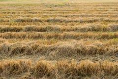De padievelden werden gebrand Stock Fotografie