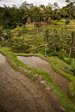De padieveldenverticaal van Bali Stock Fotografie