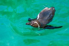 De pagospinguïnen van Galà ¡ kunnen snel het zwemmen versnellen royalty-vrije stock afbeeldingen