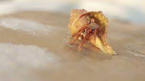 De pagurian krab van de kluizenaar, stock videobeelden