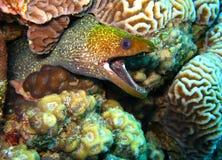 De paling van Moray Stock Afbeeldingen