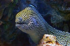 De paling van Moray stock fotografie