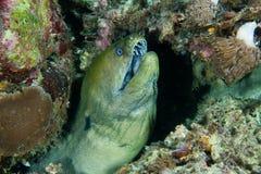 De paling van Moray royalty-vrije stock fotografie