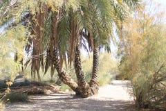 De palm dateert boom in Ein Fashkha, Natuurlijke de Reserveoase van Einot Tzukim in het Heilige Land Stock Fotografie