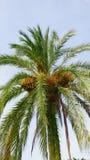 De palm dateert 1 op een grote oude palm royalty-vrije stock afbeelding