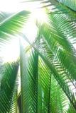 De palm of het blad van Nipah Stock Afbeeldingen