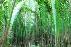De palm of het blad van Nipah Royalty-vrije Stock Fotografie