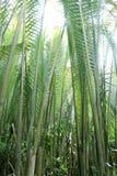De palm of het blad van Nipah stock fotografie