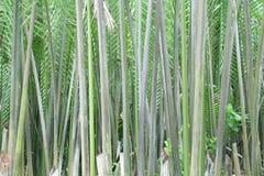 De palm of het blad van Nipah Royalty-vrije Stock Foto's