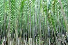 De palm of het blad van Nipah Stock Foto's