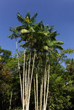 De palm van Acai tegen blauwe hemel Royalty-vrije Stock Fotografie