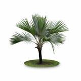 De Palm van Bismarck die op witte achtergrond wordt geïsoleerd Royalty-vrije Stock Afbeeldingen