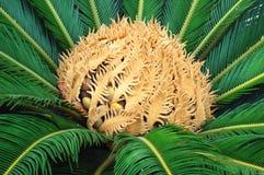 De palm van Cycas Stock Foto