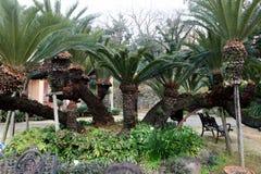 de Palm van de 300 éénjarigensago royalty-vrije stock foto's
