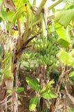 De Palm van de banaan Stock Fotografie