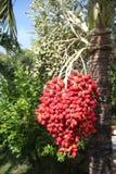 De palm van de betel Stock Foto's