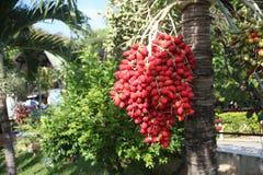 De palm van de betel Stock Foto