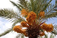 De palm van de datum Royalty-vrije Stock Afbeeldingen