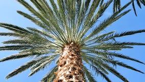De palm van de datum Stock Afbeeldingen