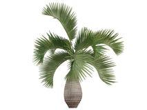 De Palm van de fles (lagenicaulis Hyophorbe) Royalty-vrije Stock Foto's