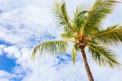 De Palm van de kokosnoot Stock Afbeeldingen