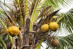 De Palm van de kokosnoot Stock Foto