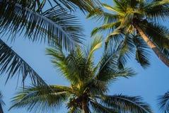 De Palm van de kokosnoot Stock Foto's