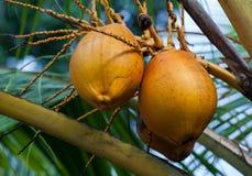 De Palm van de kokosnoot Stock Fotografie