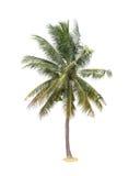 De palm van de kokosnoot die op witte achtergrond wordt geïsoleerde stock afbeelding