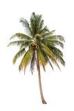 De palm van de kokosnoot Royalty-vrije Stock Foto