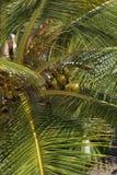 De palm van de kokosnoot op Mauritius Royalty-vrije Stock Foto