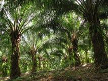 De palm van de olie Royalty-vrije Stock Foto's