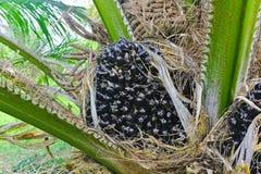 De palm van de olie Stock Afbeeldingen