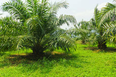De palm van de olie royalty-vrije stock afbeeldingen