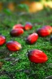 De Palm van de olie Fruitlets Stock Foto's