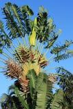 De Palm van de reiziger Stock Afbeelding