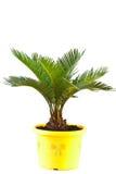 De palm van de sago Stock Fotografie