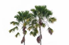 De palm van de suiker Stock Foto's