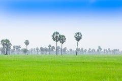 De palm van de suiker Stock Afbeeldingen