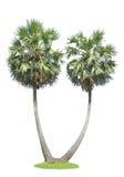 De Palm van de suiker Stock Foto