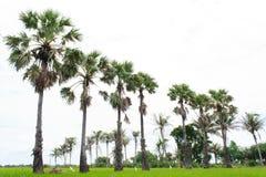 De Palm van de suiker Royalty-vrije Stock Foto