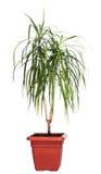 De palm van het huis (marginata Dracaena) Royalty-vrije Stock Afbeelding