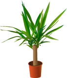 De palm van het huis (yucca) Royalty-vrije Stock Afbeeldingen
