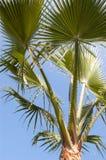 De palm van Washingtoniafilifera op blauwe hemelachtergrond Stock Foto